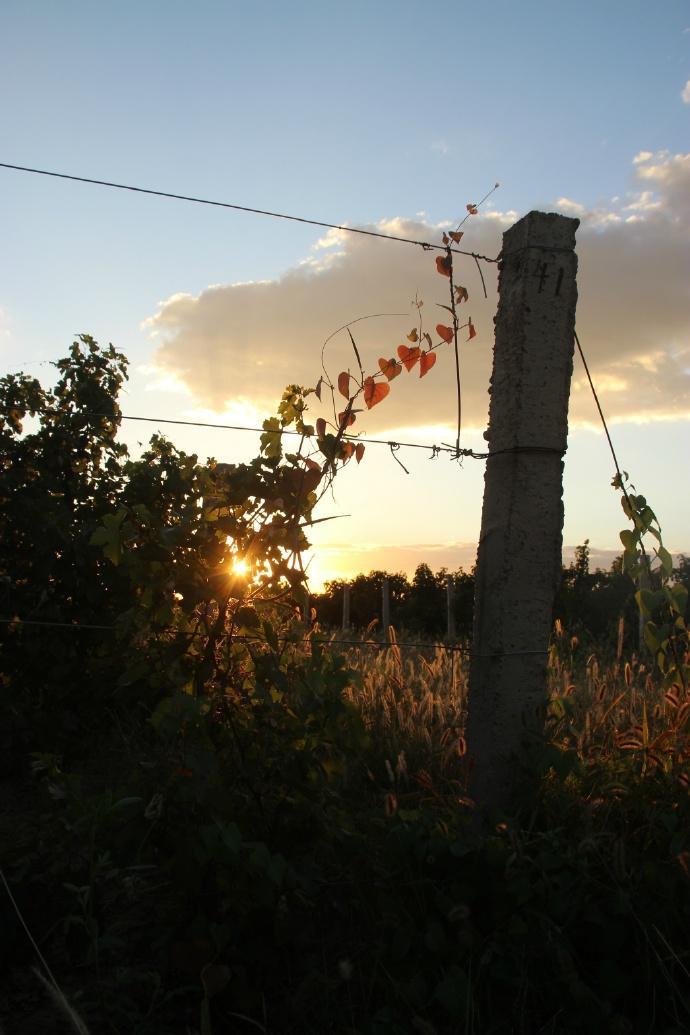 傍晚葡萄园